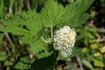 Baneberry, Herb Cristopher (Actaea spicata)